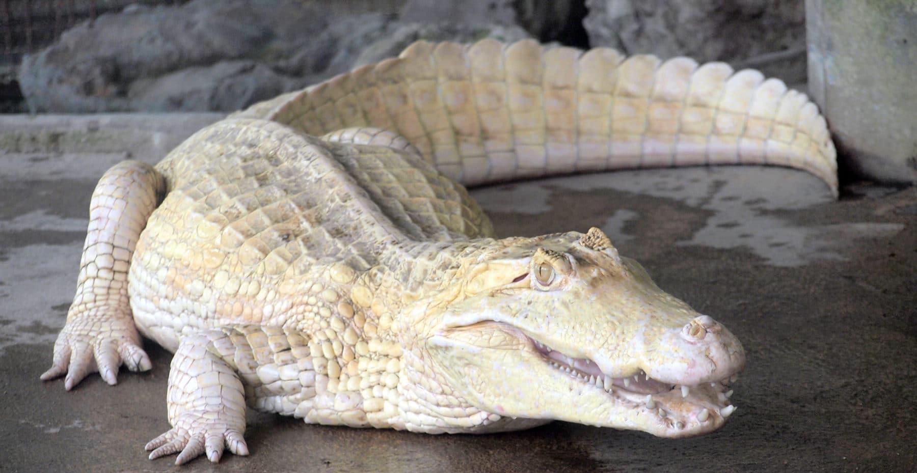 Albino Krokodil