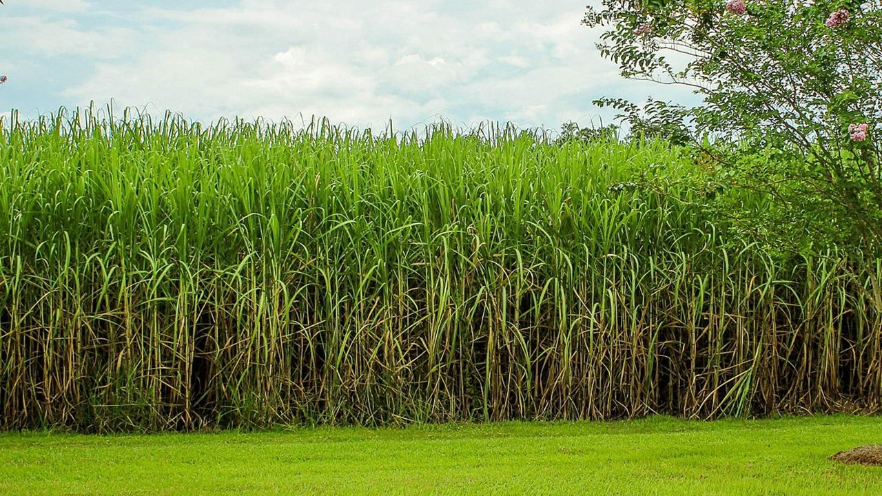 Zuckerrohr Feld: Ein Rohstoff für LEGO